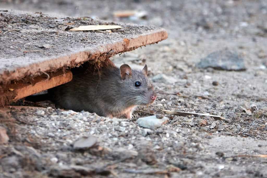 rotte på vej ud af kloak uden rottespærre